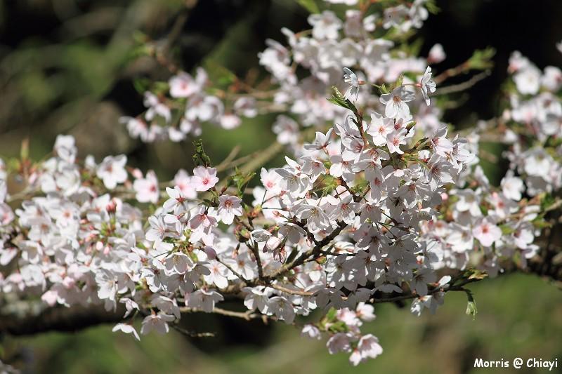 2012阿里山櫻花季 (56)