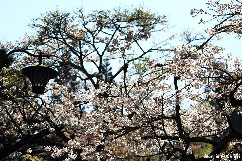 2012阿里山櫻花季 (57)