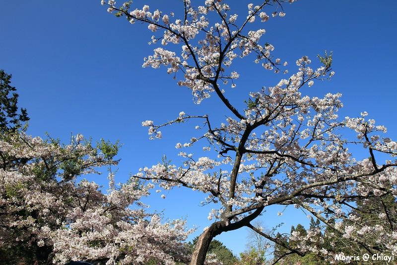 2012阿里山櫻花季 (58)