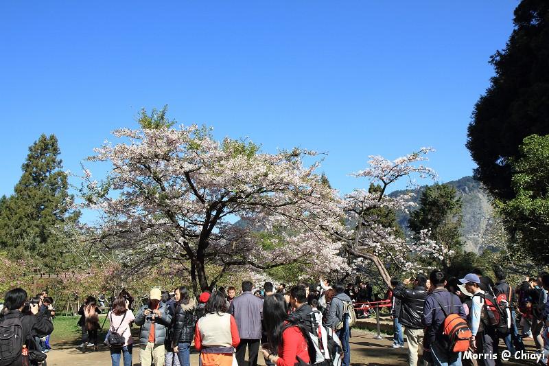 2012阿里山櫻花季 (59)