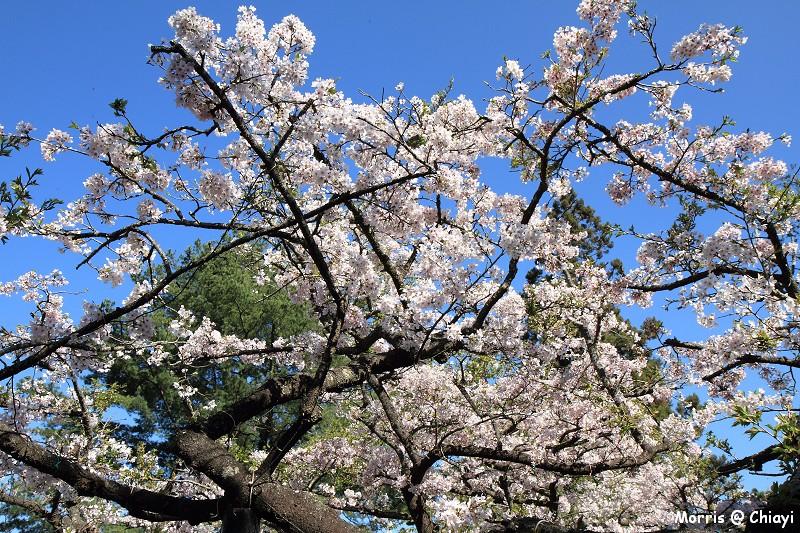 2012阿里山櫻花季 (60)