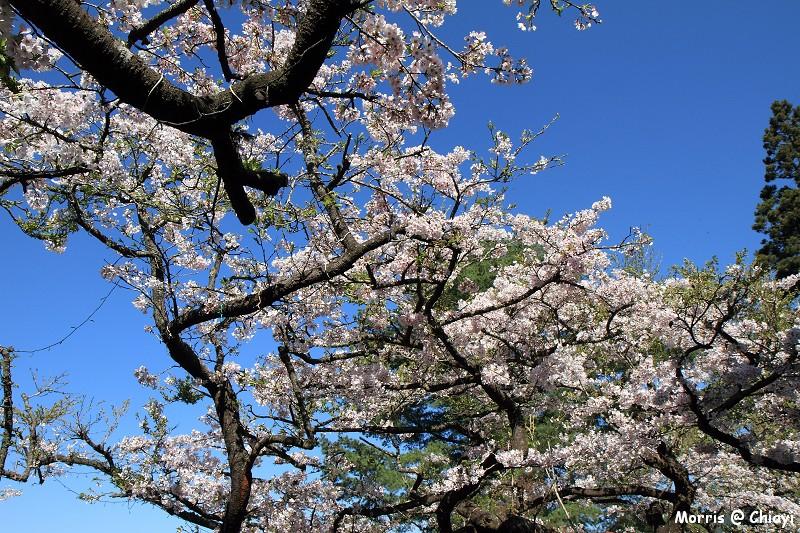 2012阿里山櫻花季 (61)