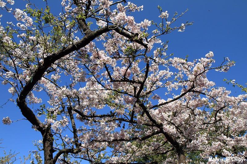 2012阿里山櫻花季 (62)