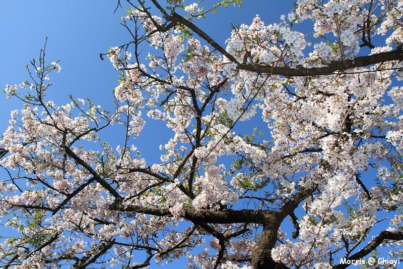 2012阿里山櫻花季 (63)