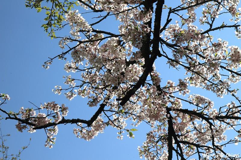 2012阿里山櫻花季 (64)