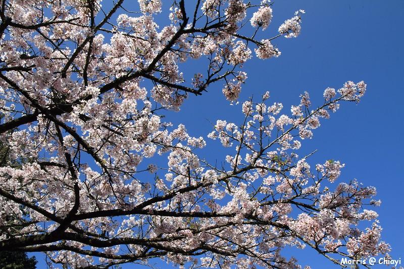 2012阿里山櫻花季 (65)