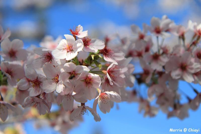 2012阿里山櫻花季 (66)