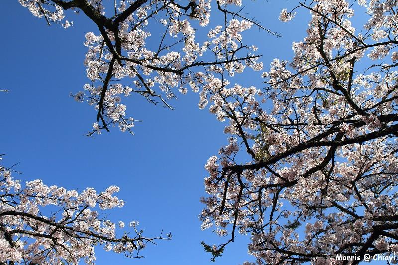 2012阿里山櫻花季 (67)