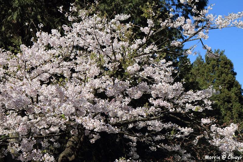 2012阿里山櫻花季 (68)