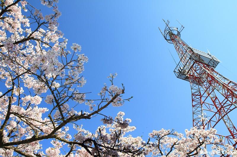 2012阿里山櫻花季 (70)