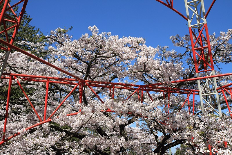 2012阿里山櫻花季 (71)