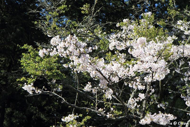 2012阿里山櫻花季 (74)