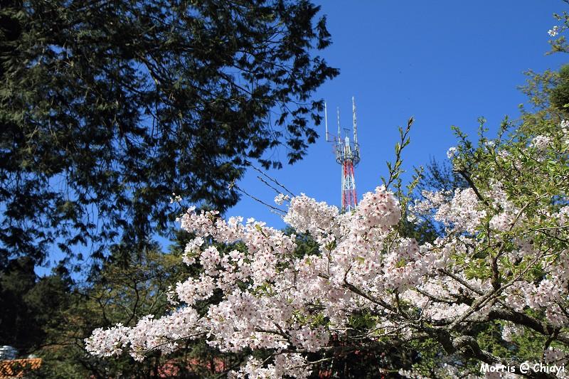 2012阿里山櫻花季 (75)