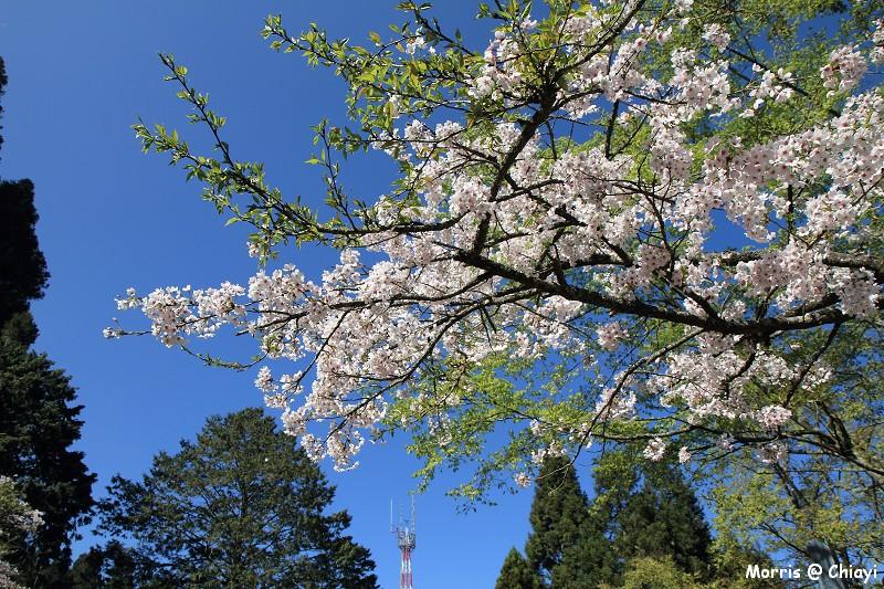 2012阿里山櫻花季 (76)
