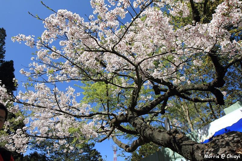 2012阿里山櫻花季 (77)
