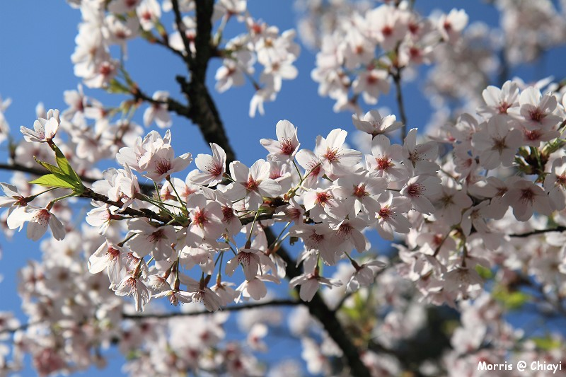 2012阿里山櫻花季 (78)