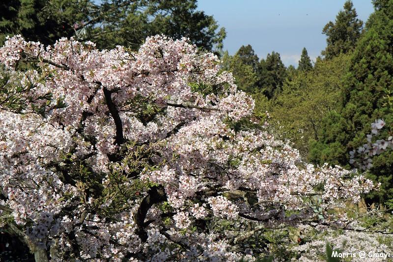 2012阿里山櫻花季 (79)
