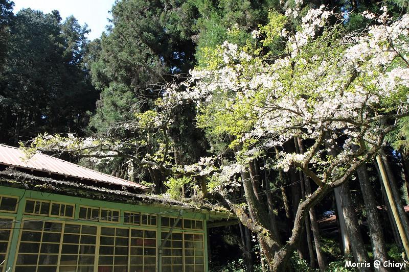 2012阿里山櫻花季 (80)
