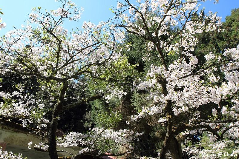 2012阿里山櫻花季 (81)