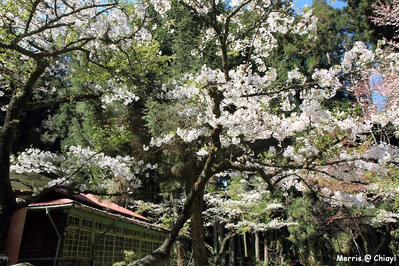 2012阿里山櫻花季 (82)