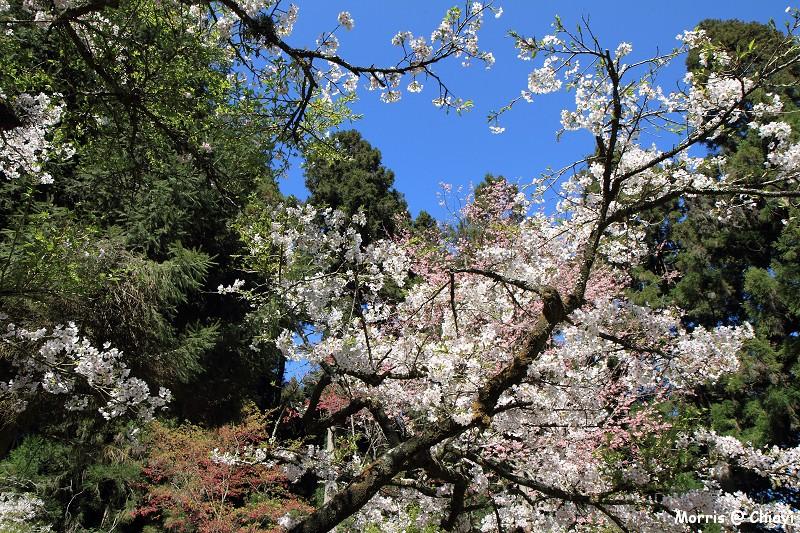 2012阿里山櫻花季 (83)