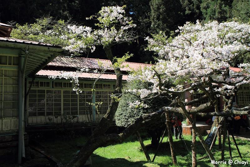 2012阿里山櫻花季 (84)