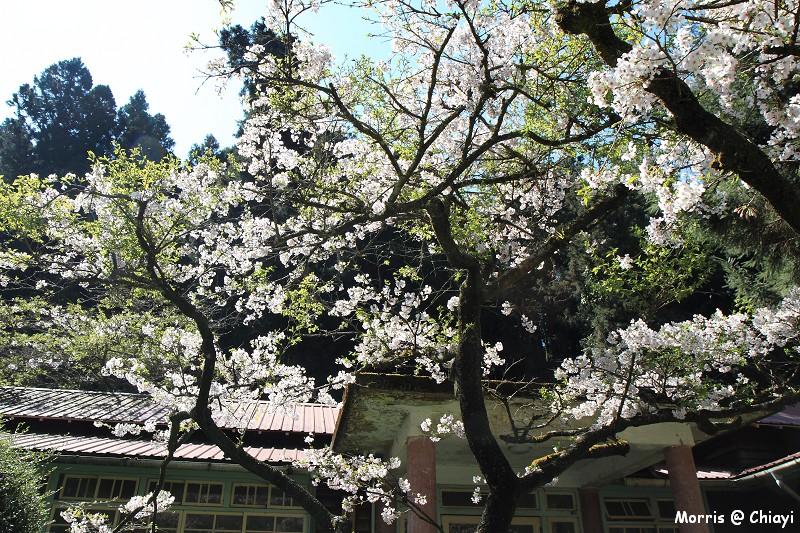 2012阿里山櫻花季 (85)
