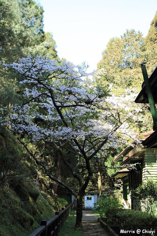 2012阿里山櫻花季 (86)