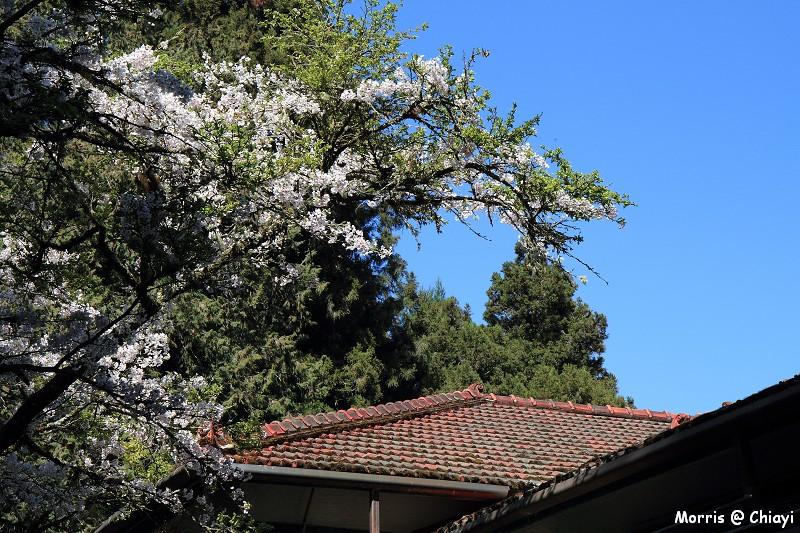 2012阿里山櫻花季 (87)