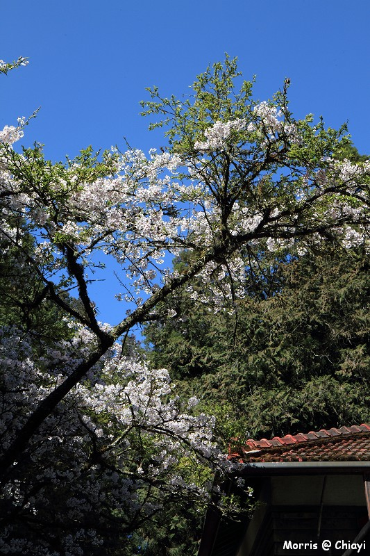 2012阿里山櫻花季 (88)