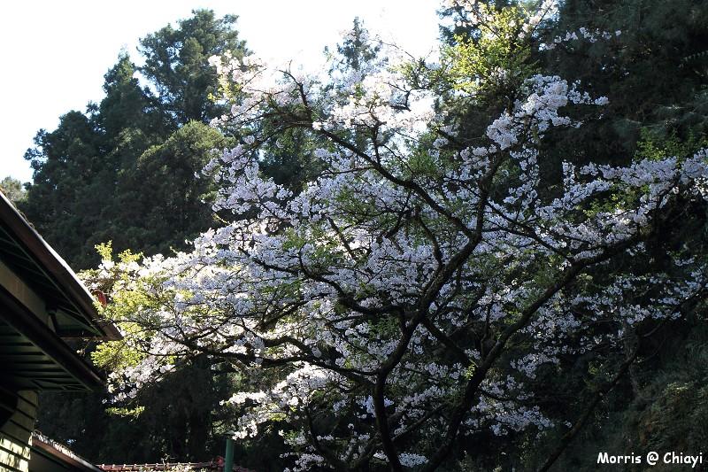 2012阿里山櫻花季 (89)