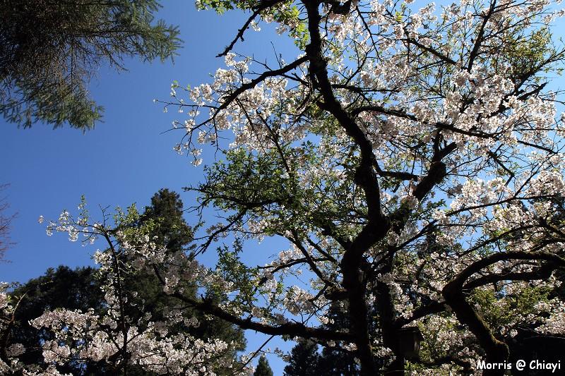 2012阿里山櫻花季 (90)