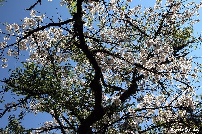 2012阿里山櫻花季 (91)