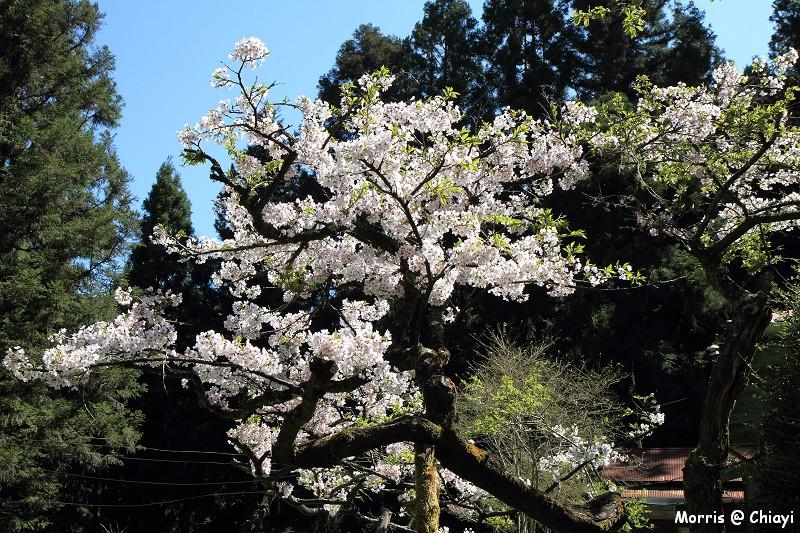 2012阿里山櫻花季 (92)