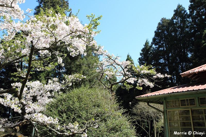 2012阿里山櫻花季 (93)