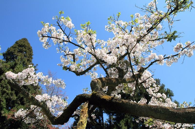 2012阿里山櫻花季 (94)
