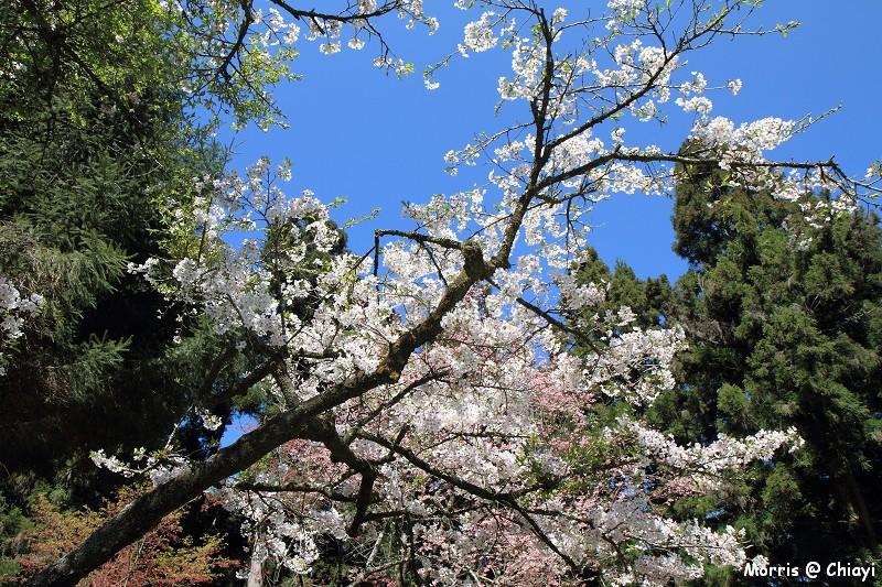 2012阿里山櫻花季 (95)