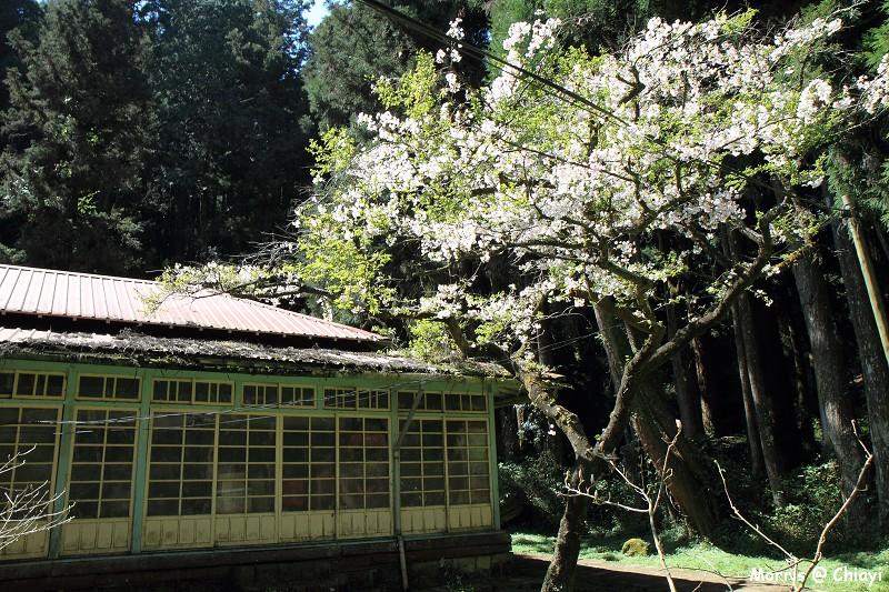2012阿里山櫻花季 (96)