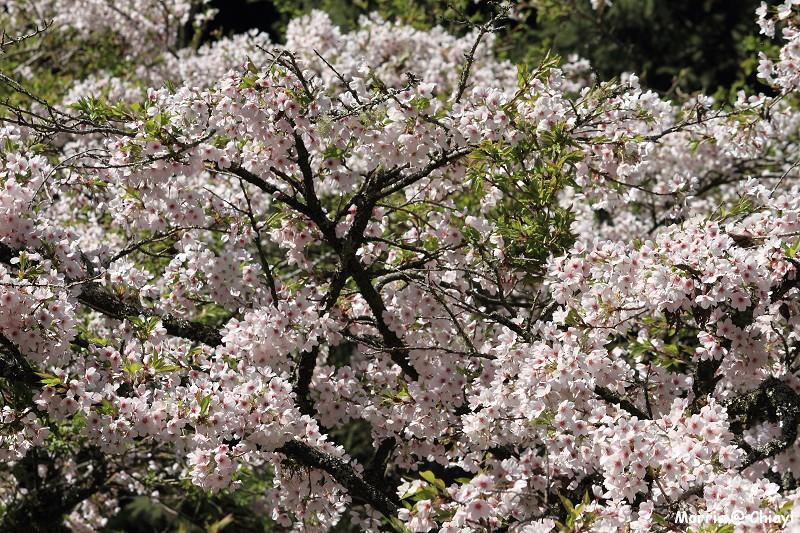 2012阿里山櫻花季 (97)