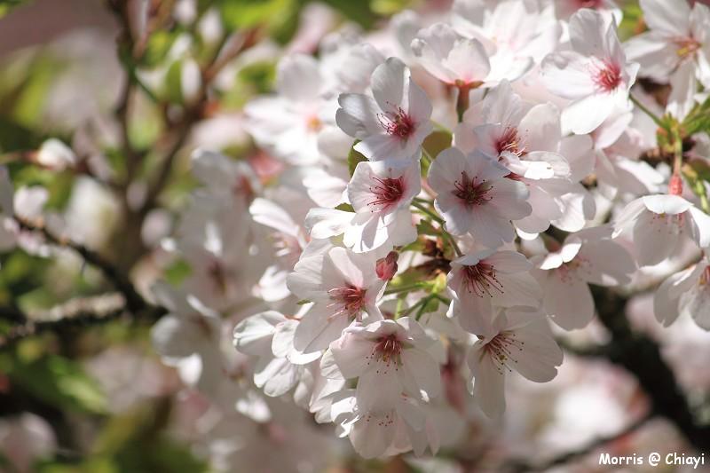 2012阿里山櫻花季 (98)