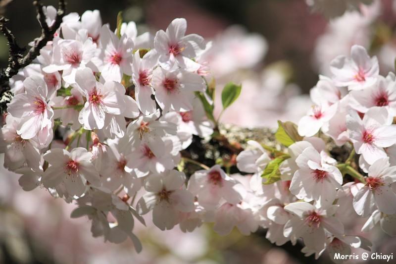 2012阿里山櫻花季 (99)