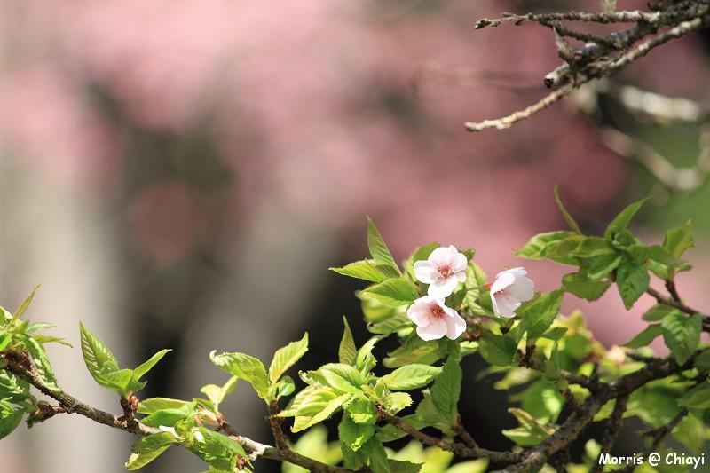 2012阿里山櫻花季 (100)