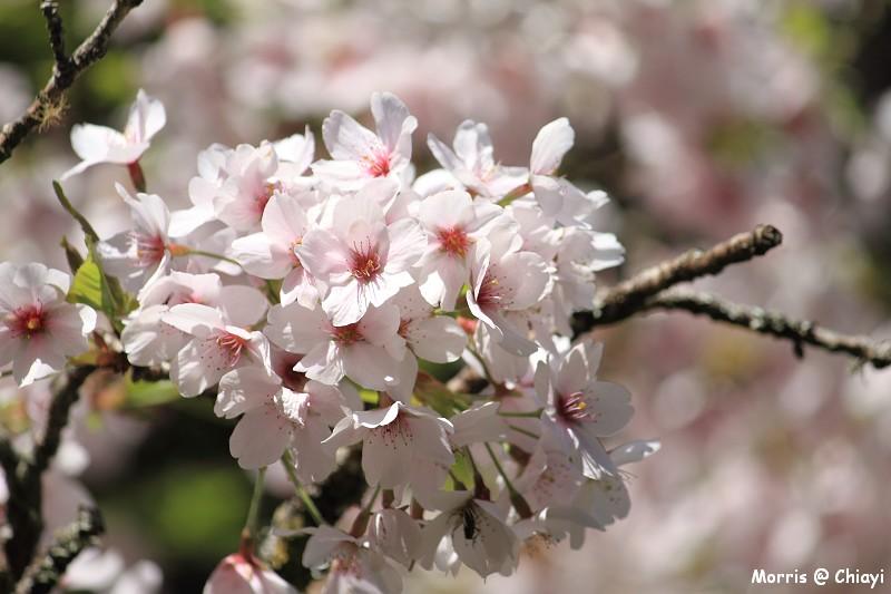 2012阿里山櫻花季 (101)