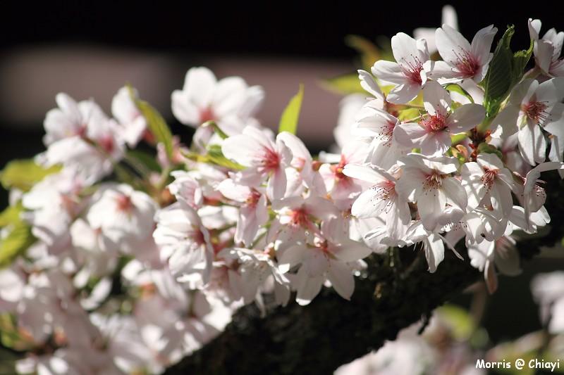 2012阿里山櫻花季 (102)