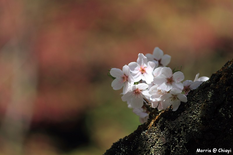 2012阿里山櫻花季 (103)