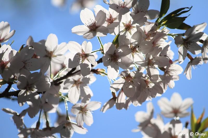 2012阿里山櫻花季 (104)