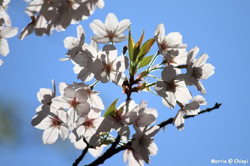 2012阿里山櫻花季 (105)