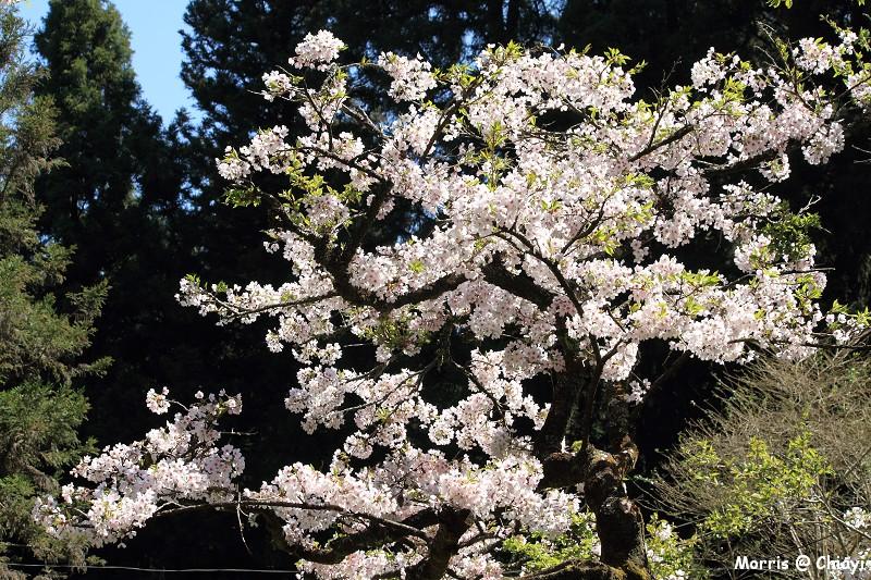 2012阿里山櫻花季 (106)
