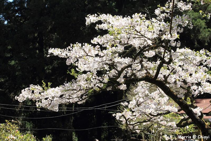 2012阿里山櫻花季 (107)