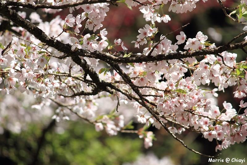 2012阿里山櫻花季 (108)